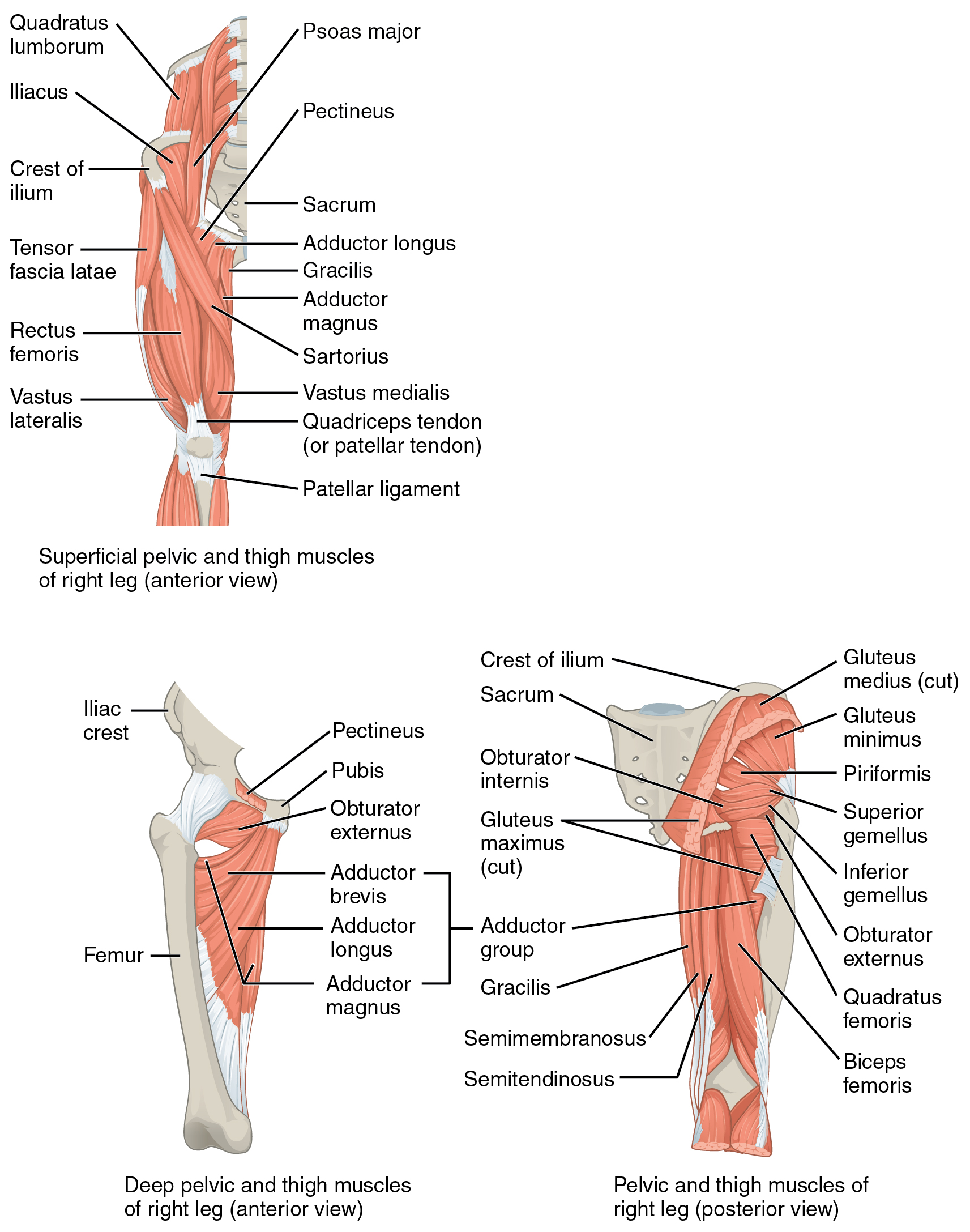 116 Appendicular Muscles Of The Pelvic Girdle And Lower Limbs