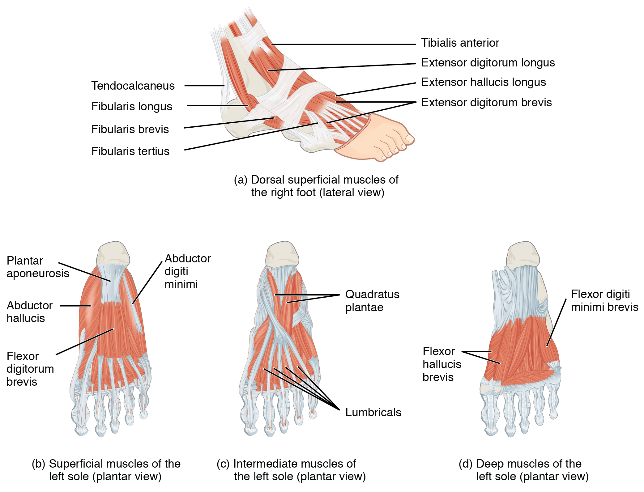 muscles of the ... Foot Arch Muscles