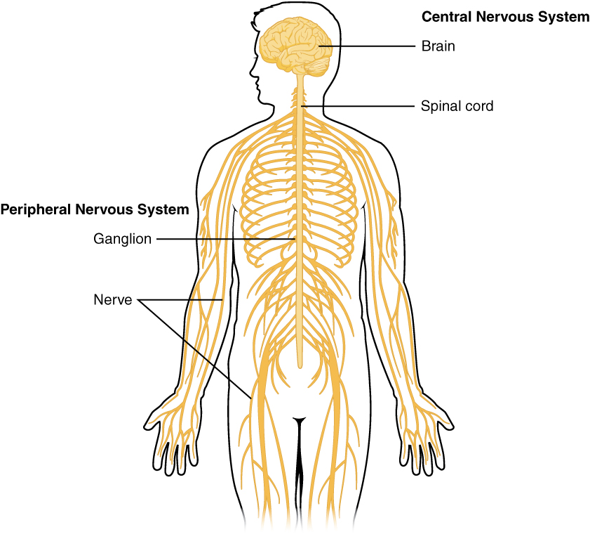 121 basic structure and function of the nervous system anatomy this diagram shows a silhouette of a human highlighting the nervous system the central nervous ccuart Choice Image