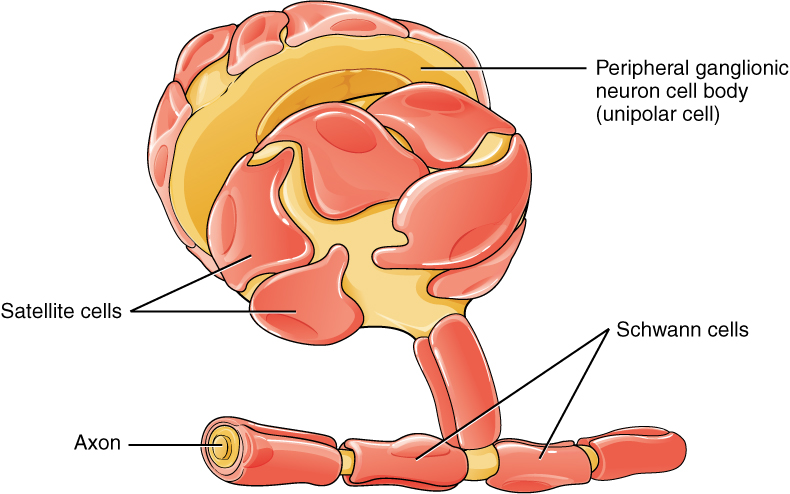 This diagram shows a collection of PNS glial cells. The largest cell is a unipolar peripheral ganglionic neuron which has a common nerve tract projecting from the bottom of its cell body. The common nerve tract then splits into the axon, going off to the left, and the dendrite, going off to the right. The cell body of the neuron is covered with several satellite cells that are irregular, flattened, and take on the appearance of fried eggs. Schwann cells wrap around each myelin sheath segment on the axon, with their nucleus creating a small bump on each segment.