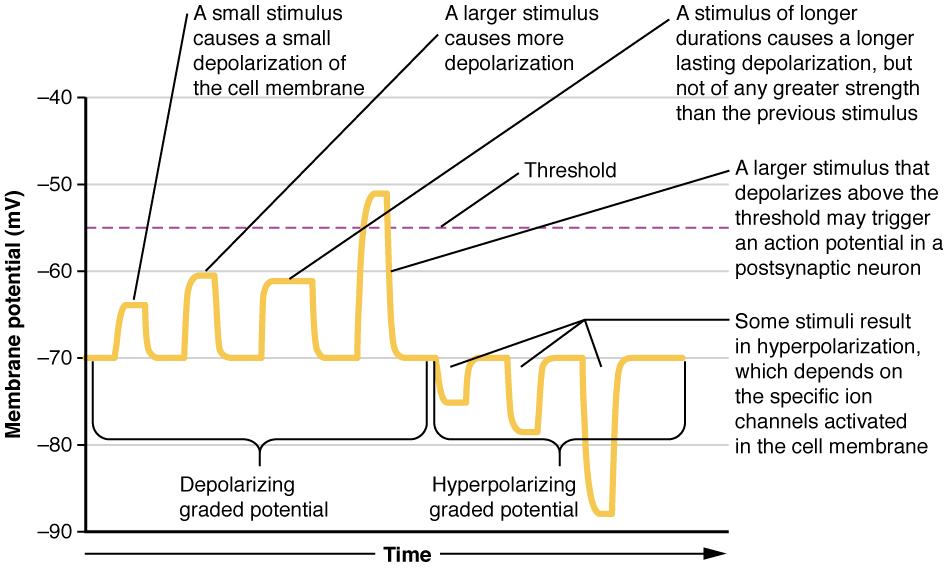 The graph has membrane potential, in millivolts, on the X axis, ranging from negative 90 to positive 30. Time is on the X axis. The left half of the plot line is labeled the depolarizing graded potential. The plot has four progressively larger peaks, with each starting at the resting membrane potential of negative 70. The lowest peak reaches to about negative 65 and is narrow in width, as this represents a small stimulus that causes a small depolarization of the cell membrane. The second peak reaches to about negative 60 but is still narrow. This represents a larger stimulus causing more depolarization. The third peak also reaches to negative 60, but is about twice as wide as the other two peaks. This represents a stimulus of longer duration, which causes a longer lasting depolarization. However, this stimulus is not greater in strength than the previous stimulus. The rightmost peak among the depolarizing graded potentials reaches above the threshold line to about negative 51. This represents a stimulus of sufficient strength to trigger an action potential. The right half of the plot is labeled the hyperpolarizing graded potential. The plot line in this half begins at the resting potential of negative 70, but then drops to more negative membrane potentials. The first peak drops to negative 75 EV, the second peak drops to negative 80 EV and the third peak drops to negative 88 EV. These peaks represent a stimulus that results in hyperpolarization, which is triggered by the activation of specific ion channels in the cell membrane.