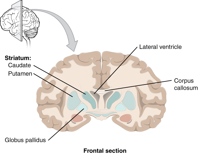 This diagram shows the frontal section of the brain and identifies the major components of the basal nuclei.