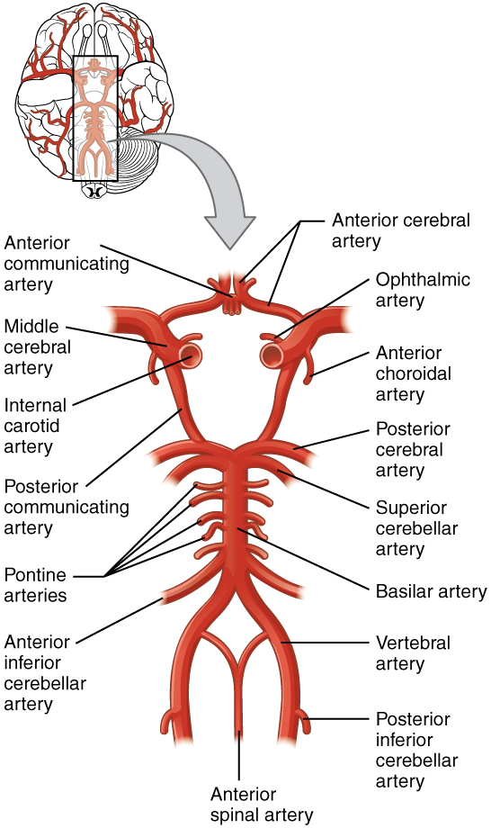 133 Circulation And The Central Nervous System Anatomy And Physiology