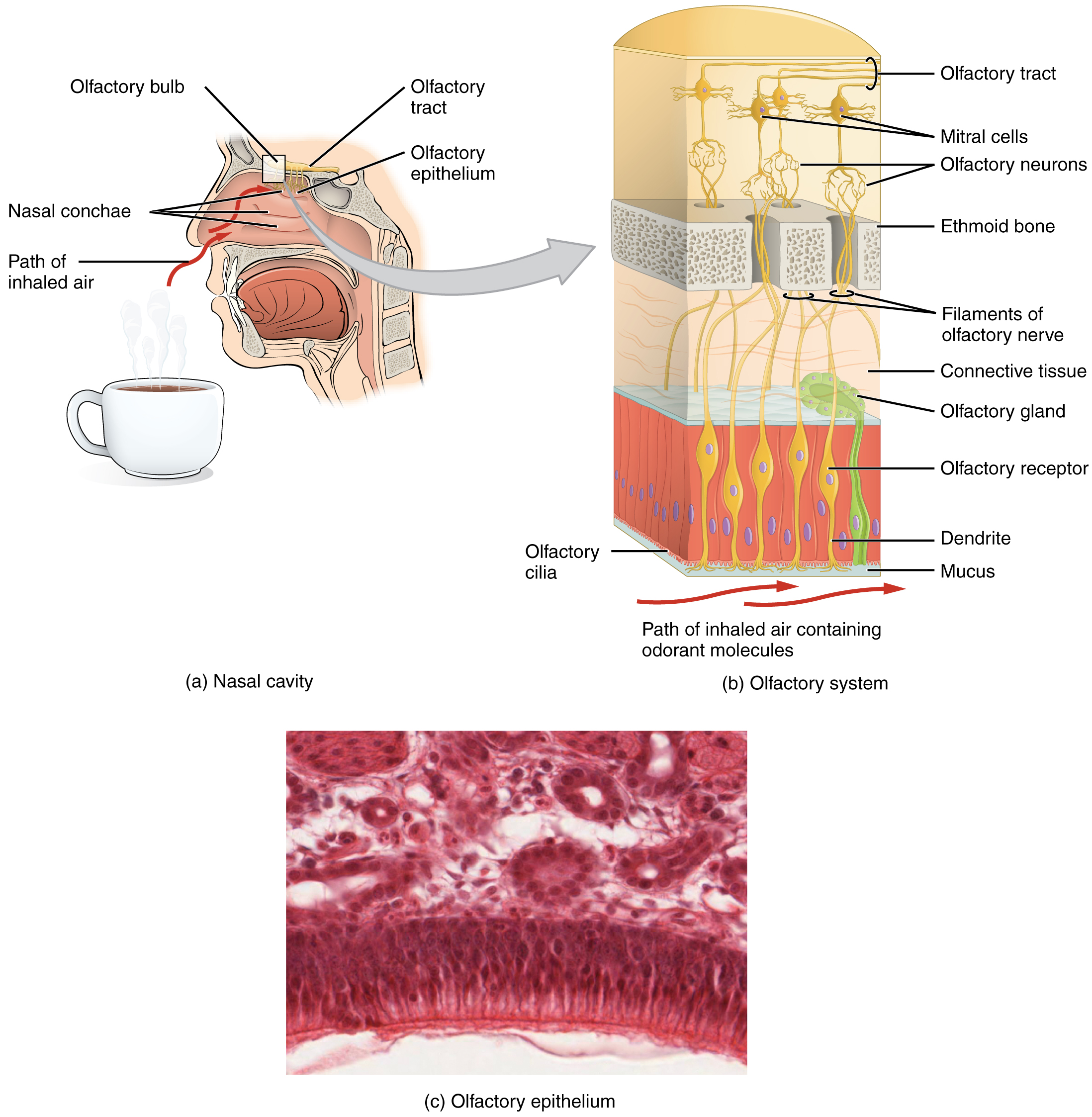 The top left panel of this image shows the side view of a person's face with a cup containing a beverage underneath the nose. The image shows how the aroma of the beverage passes through the nasal cavity. The top right panel shows a detailed ultrastructure of the olfactory bulb. The bottom panel shows a micrograph of the nasal cavity.
