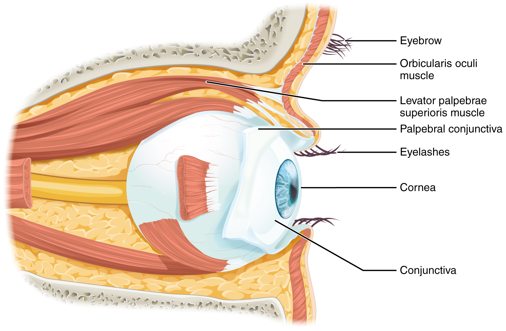 141 Sensory Perception Anatomy And Physiology Simple Human Eye Diagram How Our Eyes Work This Shows The Lateral View Of Major Parts Are Labeled