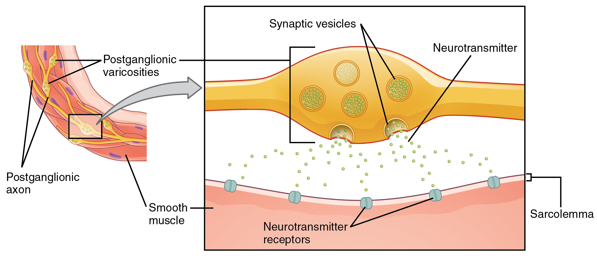 this figure shows the connection between autonomic fibers and the target  effectors  the left image