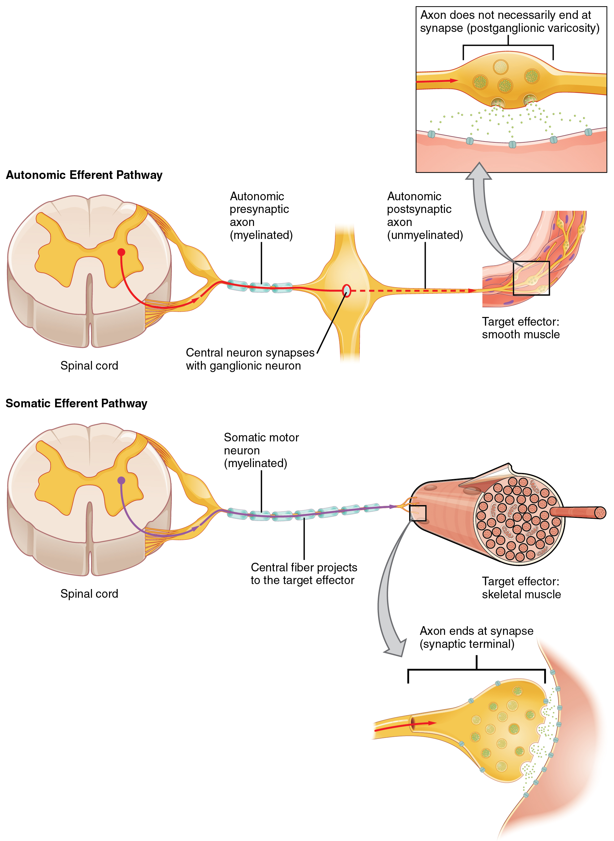 152 autonomic reflexes and homeostasis anatomy and physiology the top panel in this figure shows the autonomic efferent pathway the spinal cord is ccuart Gallery