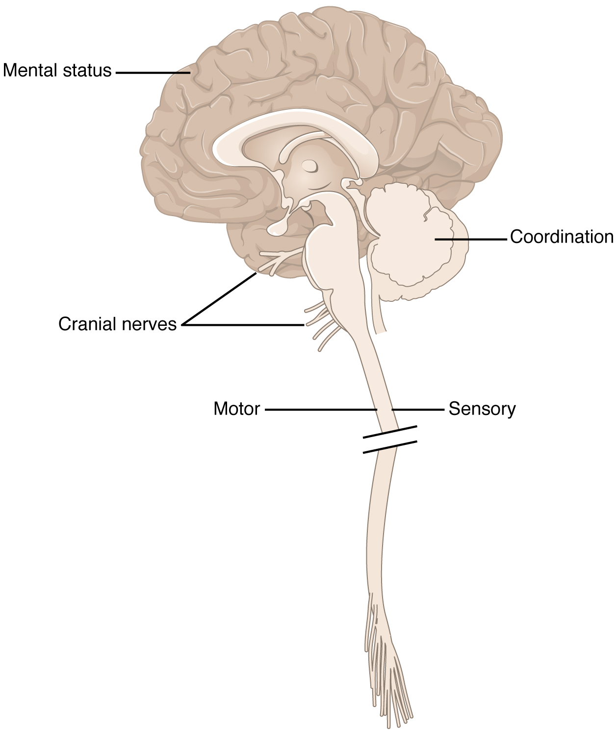 Brain And Spinal Cord Anatomy Image collections - human body anatomy