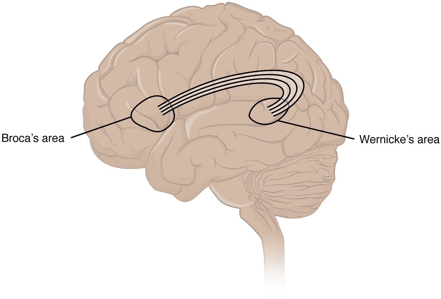 This figure shows the brain. Two labels mark the Broca's and Wernicke's areas.