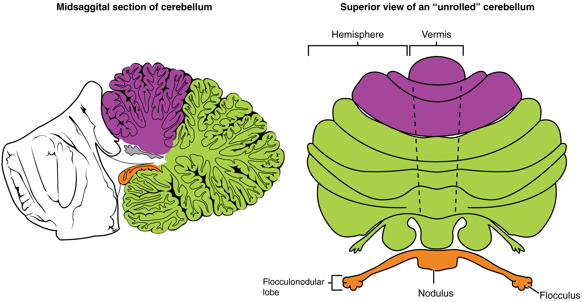 mind and cerebellum The mind stealers psychosurgery and mind control  the computer then orders the stimoceiver to stimulate the anterior lobe of the cerebellum, .