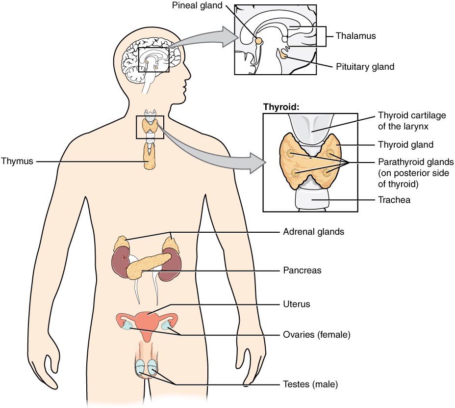17.1 An Overview of the Endocrine System – Anatomy and ...