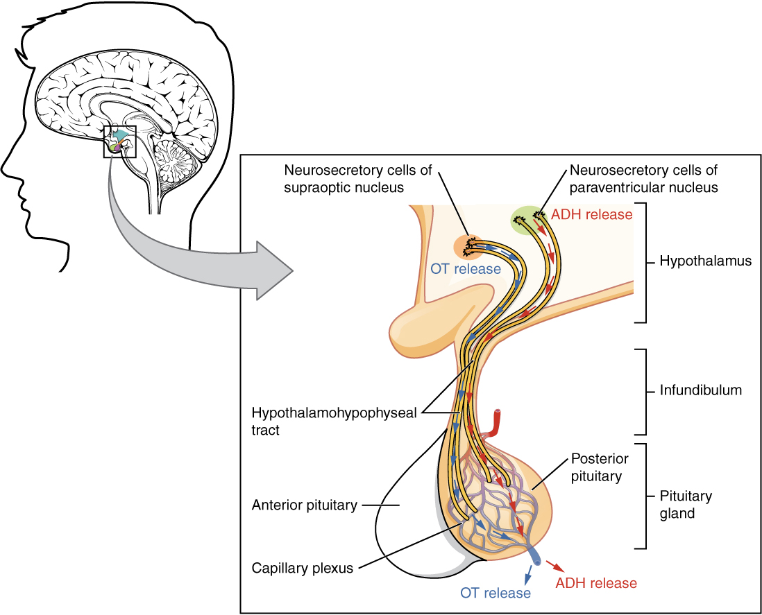 This illustration zooms in on the hypothalamus and the attached pituitary gland. The posterior pituitary is highlighted. Two nuclei in the hypothalamus contain neurosecretory cells that release different hormones. The neurosecretory cells of the paraventricular nucleus release oxytocin (OT) while the neurosecretory cells of the supraoptic nucleus release anti-diuretic hormone (ADH). The neurosecretory cells stretch down the infundibulum into the posterior pituitary. The tube-like extensions of the neurosecretory cells within the infundibulum are labeled the hypothalamophypophyseal tracts. These tracts connect with a web-like network of blood vessels in the posterior pituitary called the capillary plexus. From the capillary plexus, the posterior pituitary secretes the OT or ADH into a single vein that exits the pituitary.