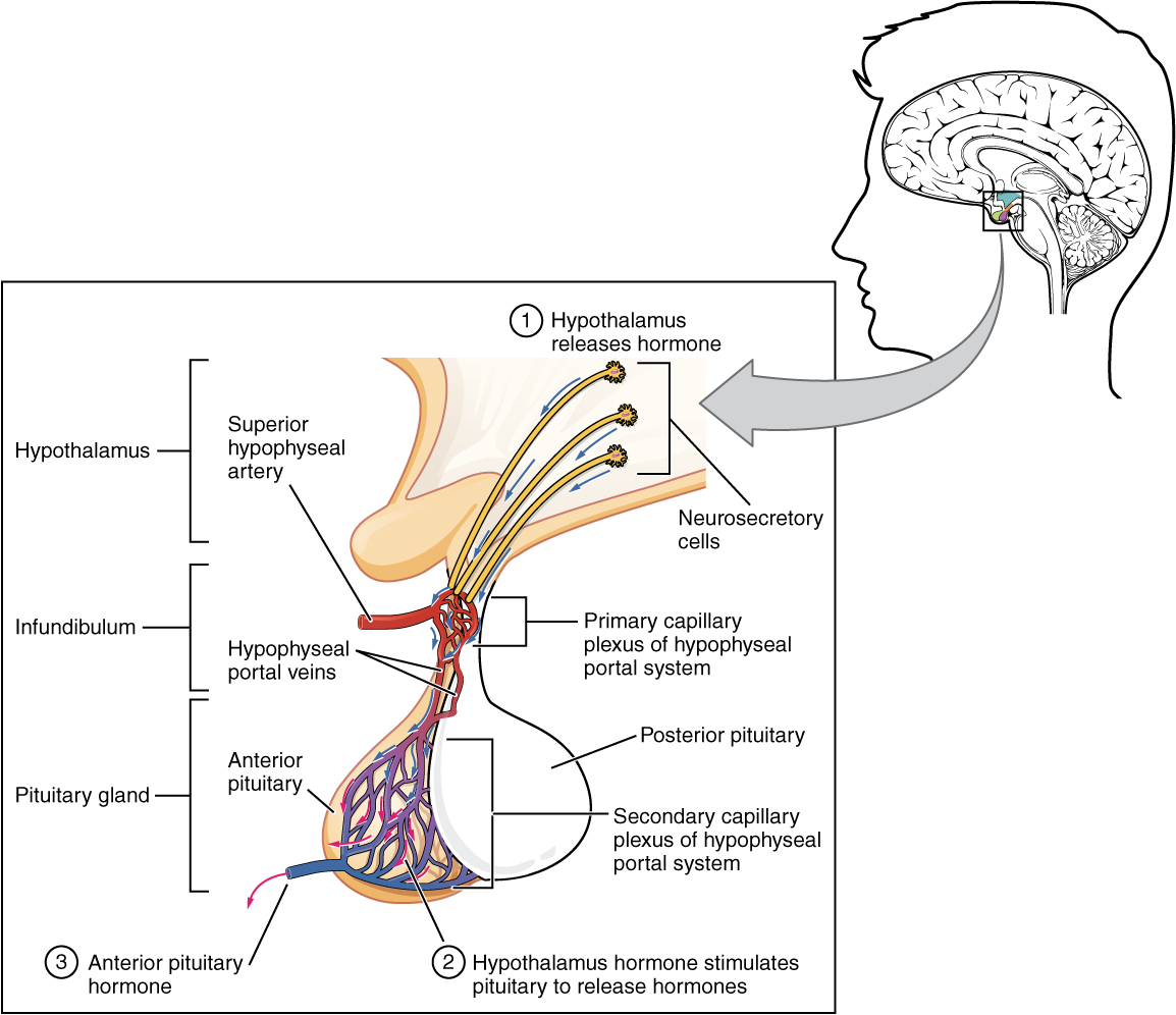 173 The Pituitary Gland And Hypothalamus Anatomy And Physiology