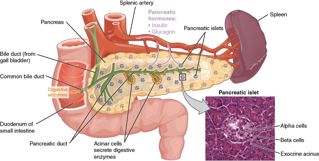 17 9 The Endocrine Pancreas – Anatomy and Physiology