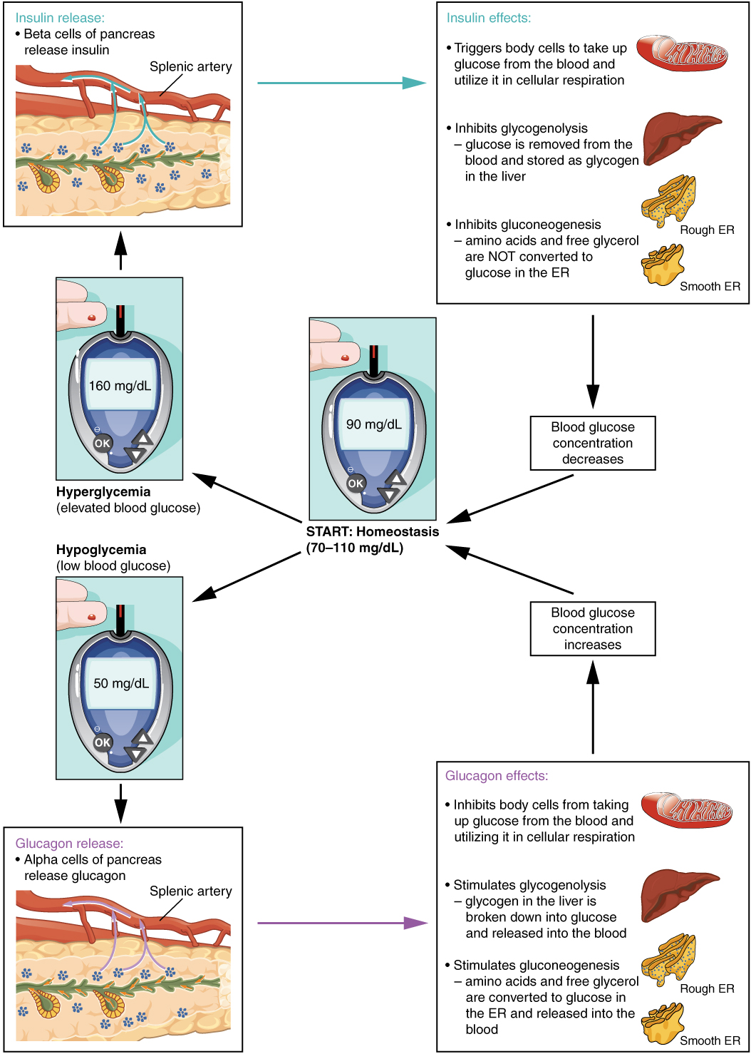 this diagram shows the homeostatic regulation of blood glucose levels  blood  glucose concentration is tightly