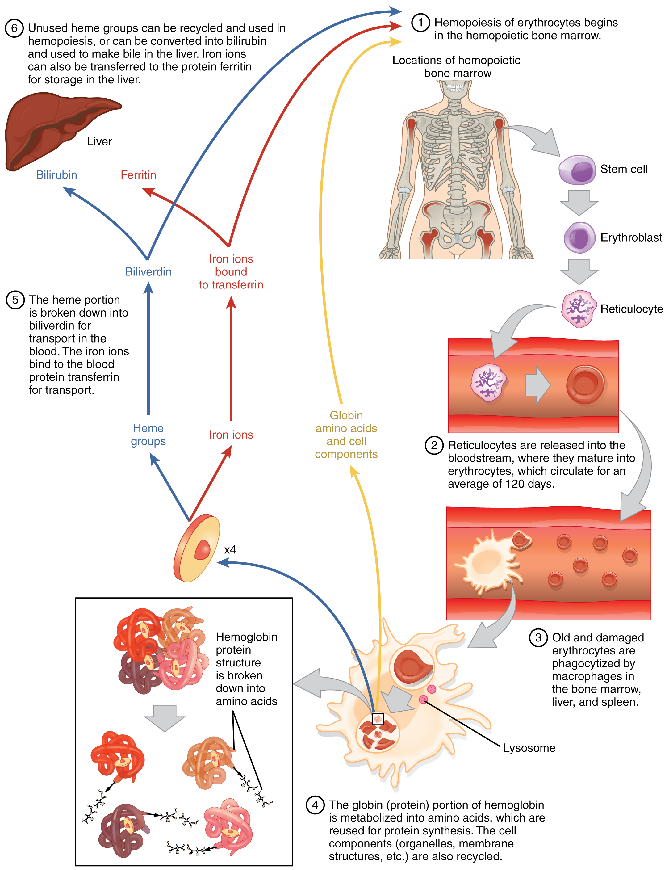 183 erythrocytes anatomy and physiology this flow chart shows the life cycle of a red blood cell the first step nvjuhfo Gallery