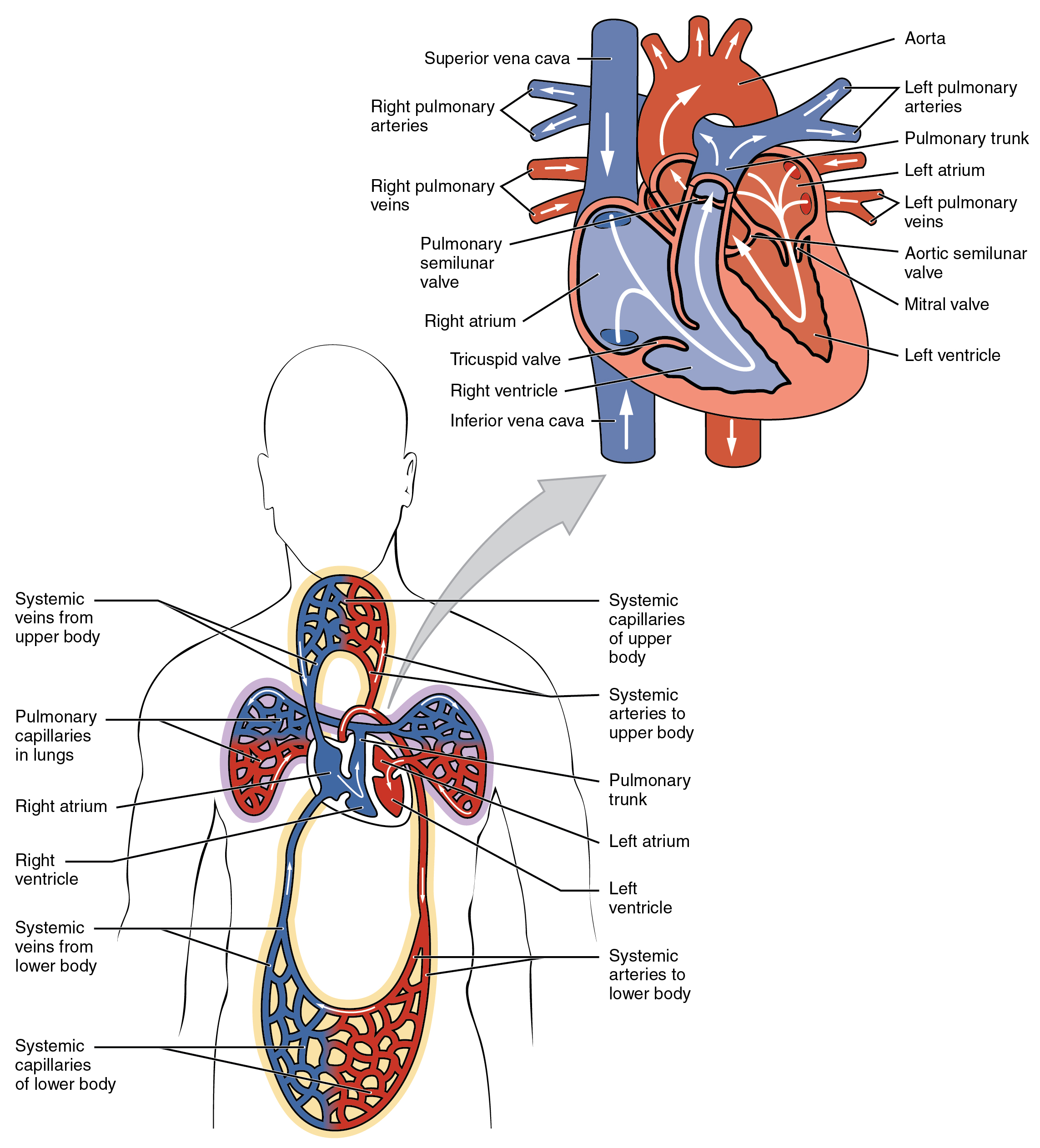 191 heart anatomy anatomy and physiology the top panel shows the human heart with the arteries and veins labeled the bottom ccuart