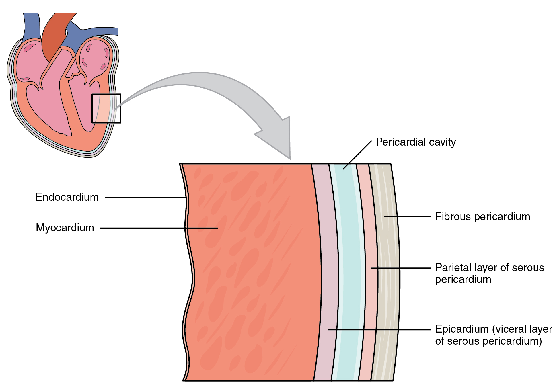 191 Heart Anatomy And Physiology Electric Car Sankey Diagram This Image Shows A Magnified View Of The Structure Wall