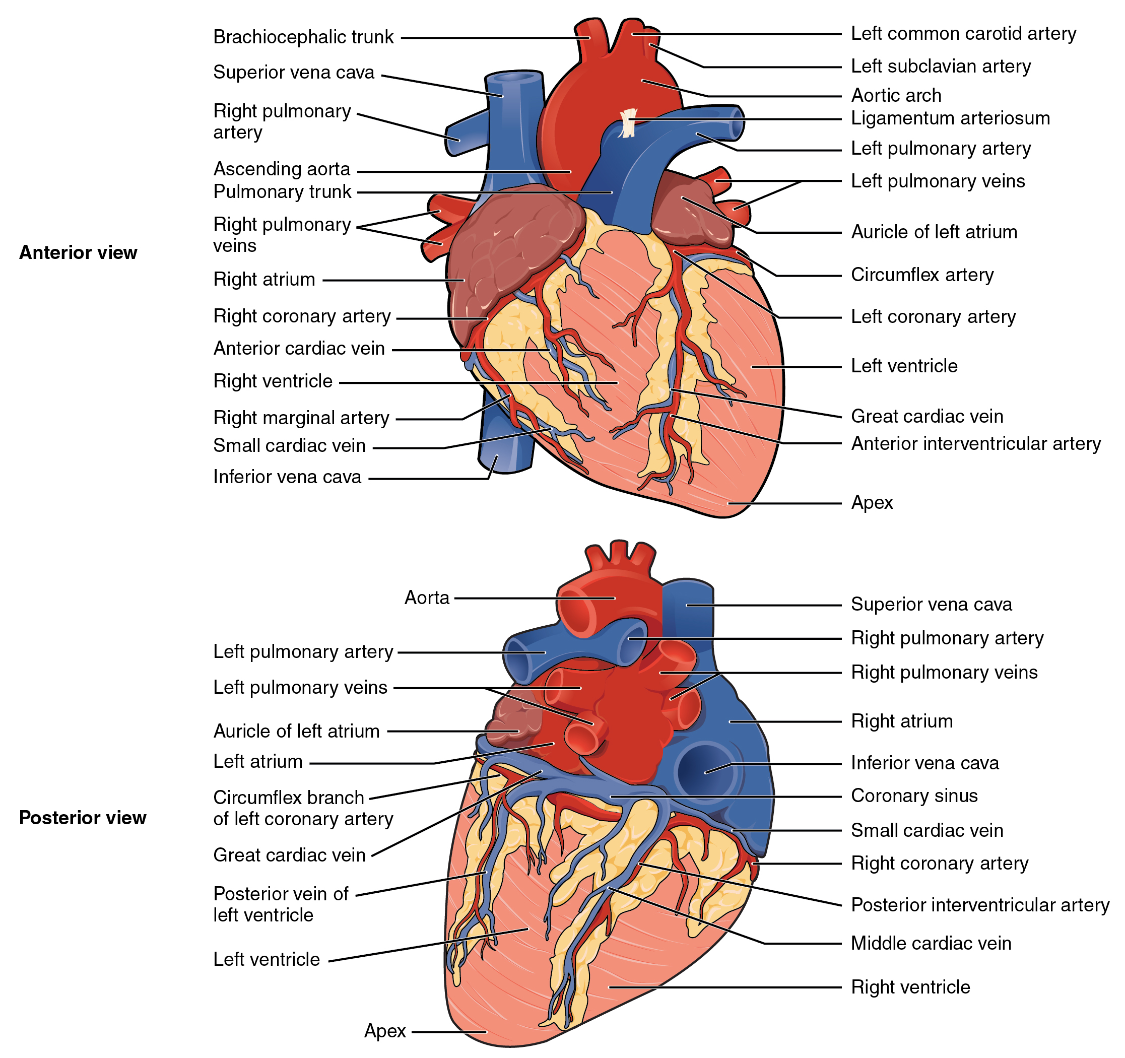 The top panel shows the anterior view of the heart and the bottom panel shows the posterior view of the human heart. In both panels, the main parts of the heart are labeled.