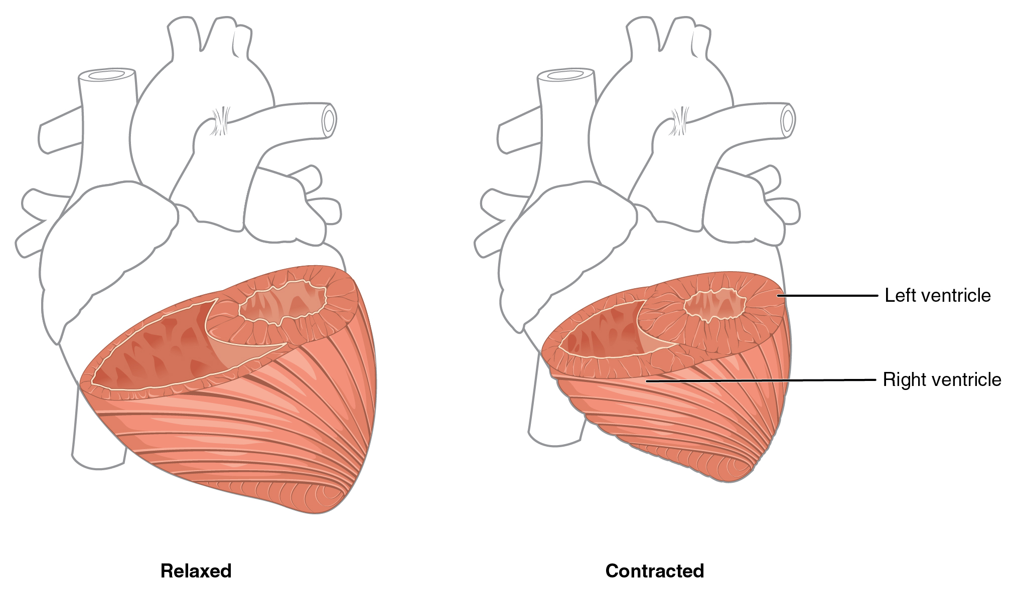 Labeled Diagram Of Heart Picture Is Part Anatomy Today We Give 191 And Physiology In This Figure The Left Panel Shows Muscles Relaxed Position