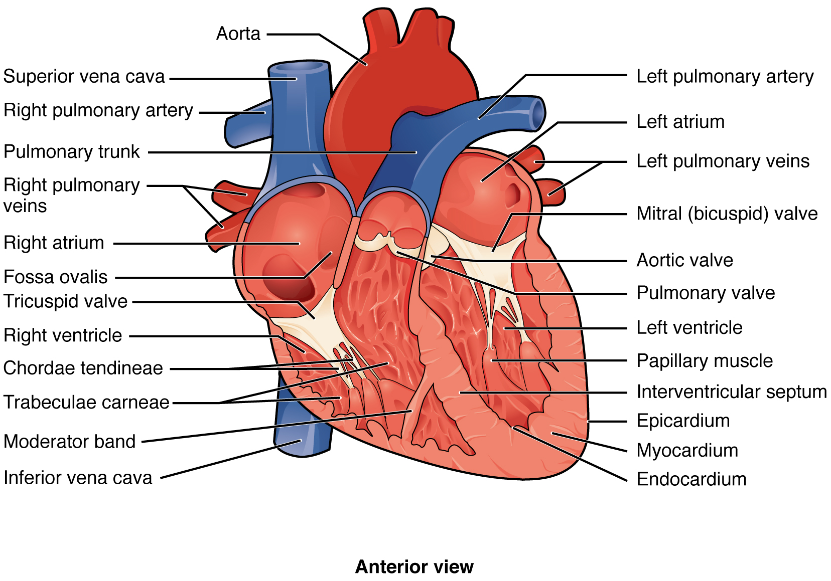 191 Heart Anatomy Anatomy And Physiology