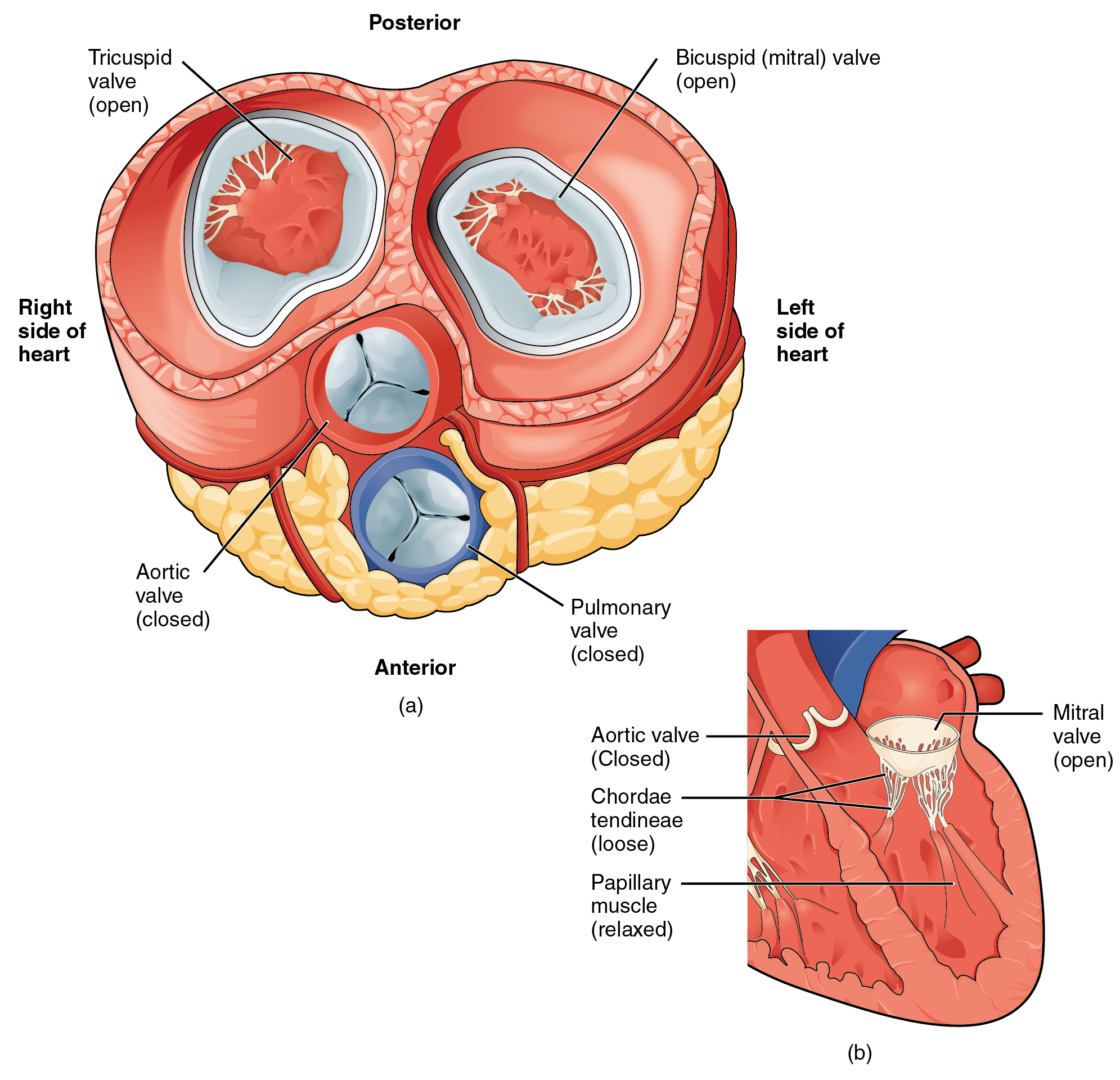 19 1 Heart Anatomy – Anatomy and Physiology