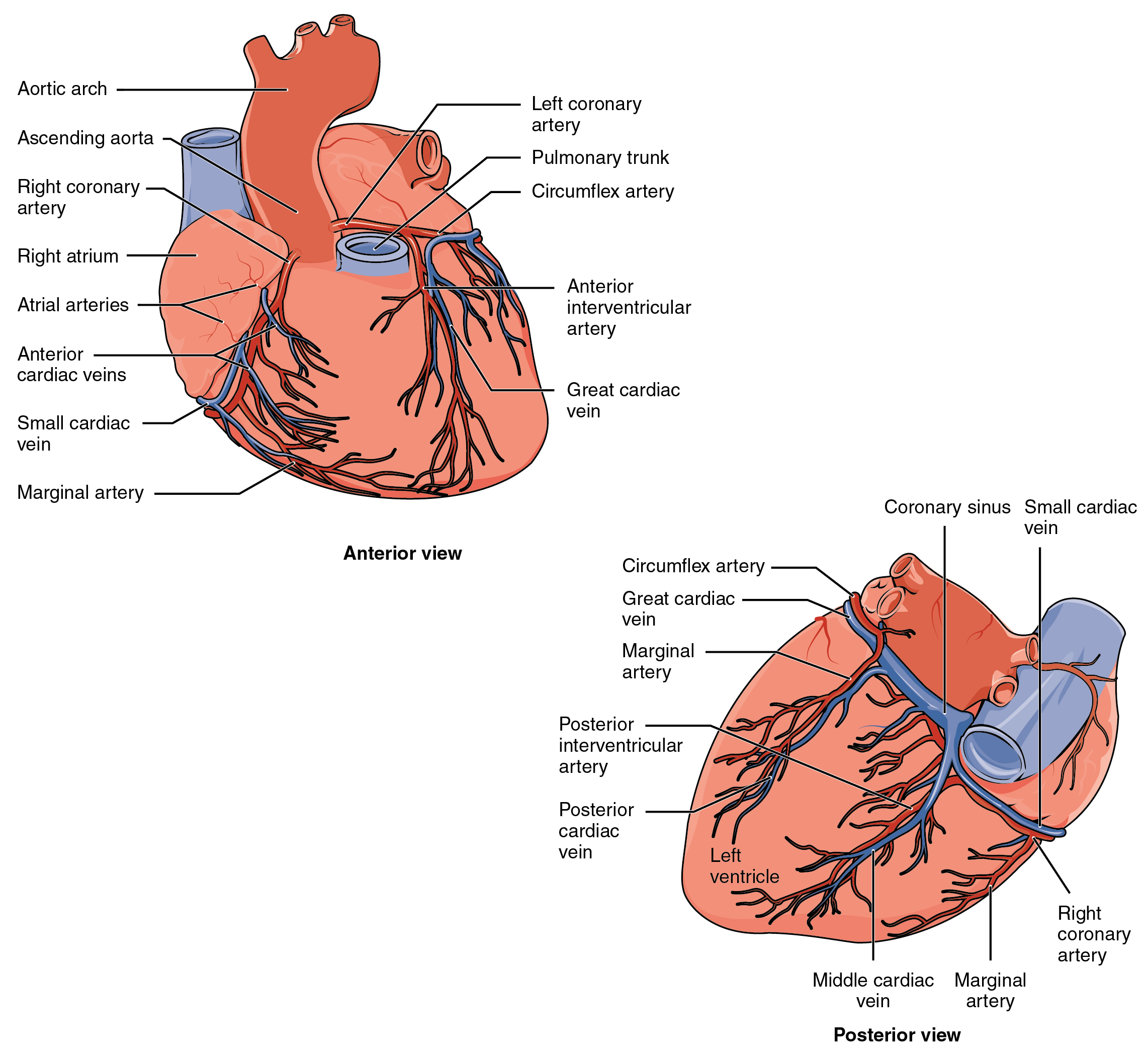 19 1 Heart Anatomy Anatomy And Physiology