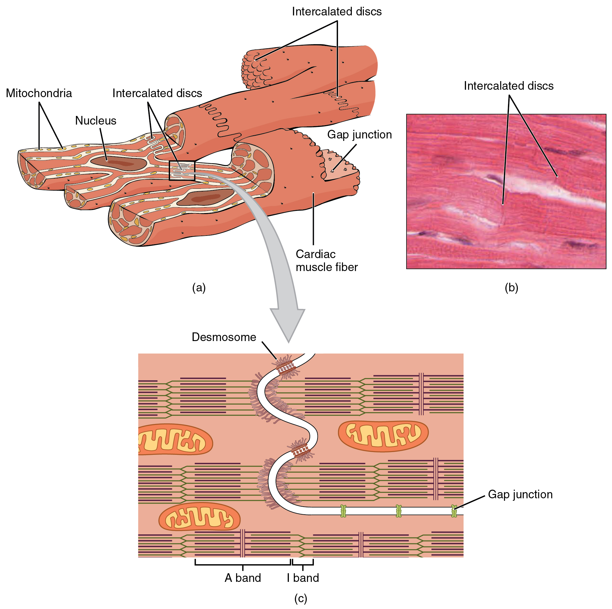 19.2 cardiac muscle and electrical activity | anatomy and physiology, Human body