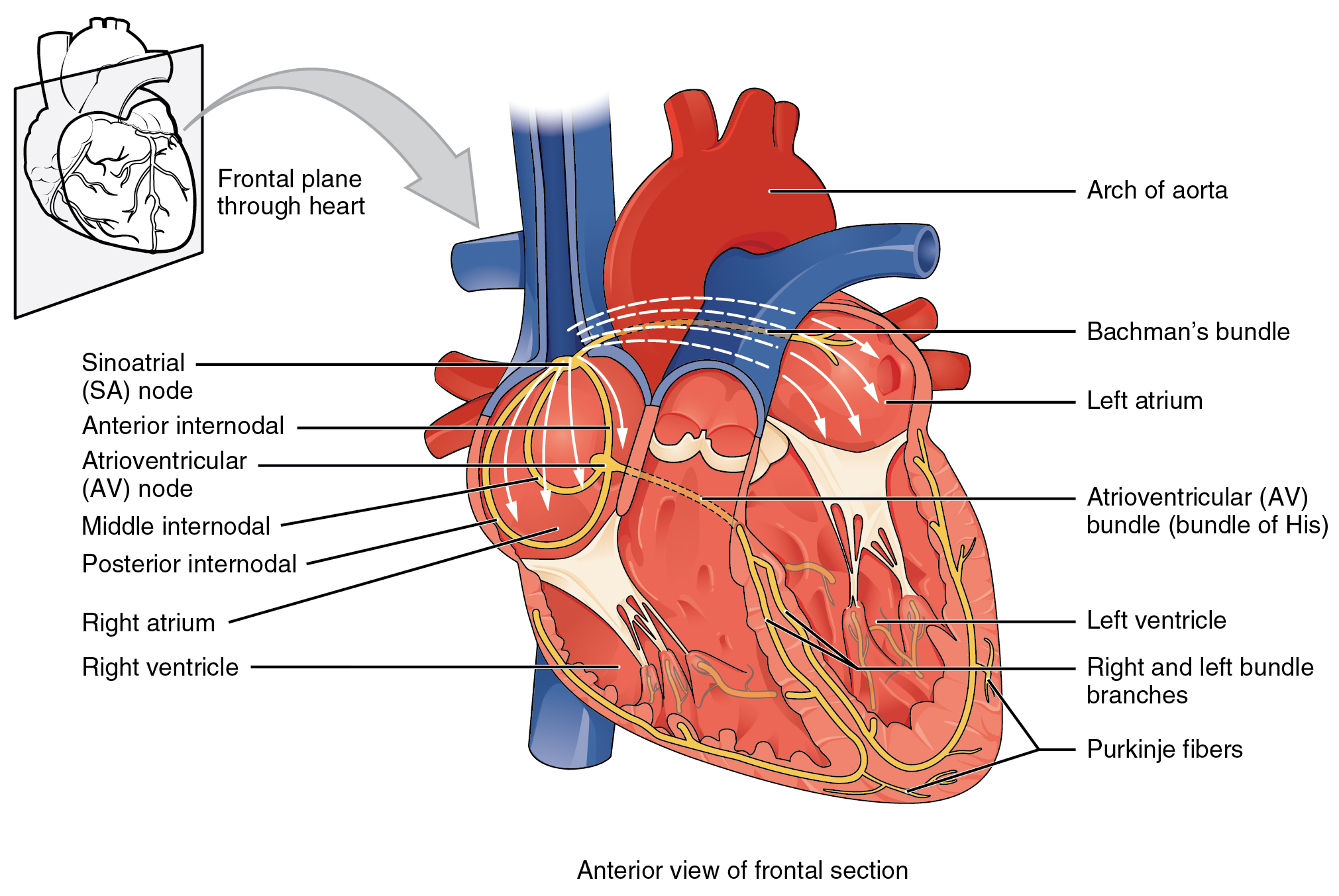 192 cardiac muscle and electrical activity anatomy and physiology this image shows the anterior view of the frontal section of the heart with the major ccuart Images