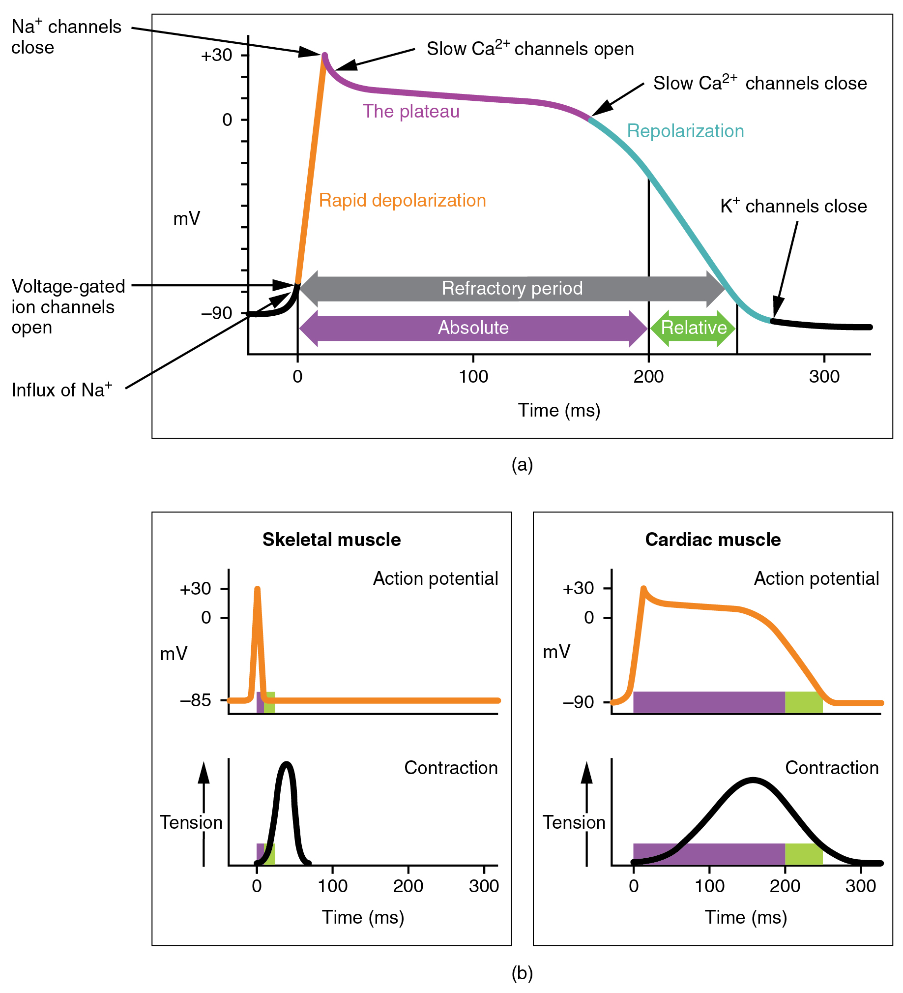 The top panel of this figure shows millivolts as a function of time with the various stages labeled. The bottom left panel shows action potential and tension as a function of time for skeletal muscle, and the bottom right panel shows the action potential and tension as a function of time for cardiac muscle.