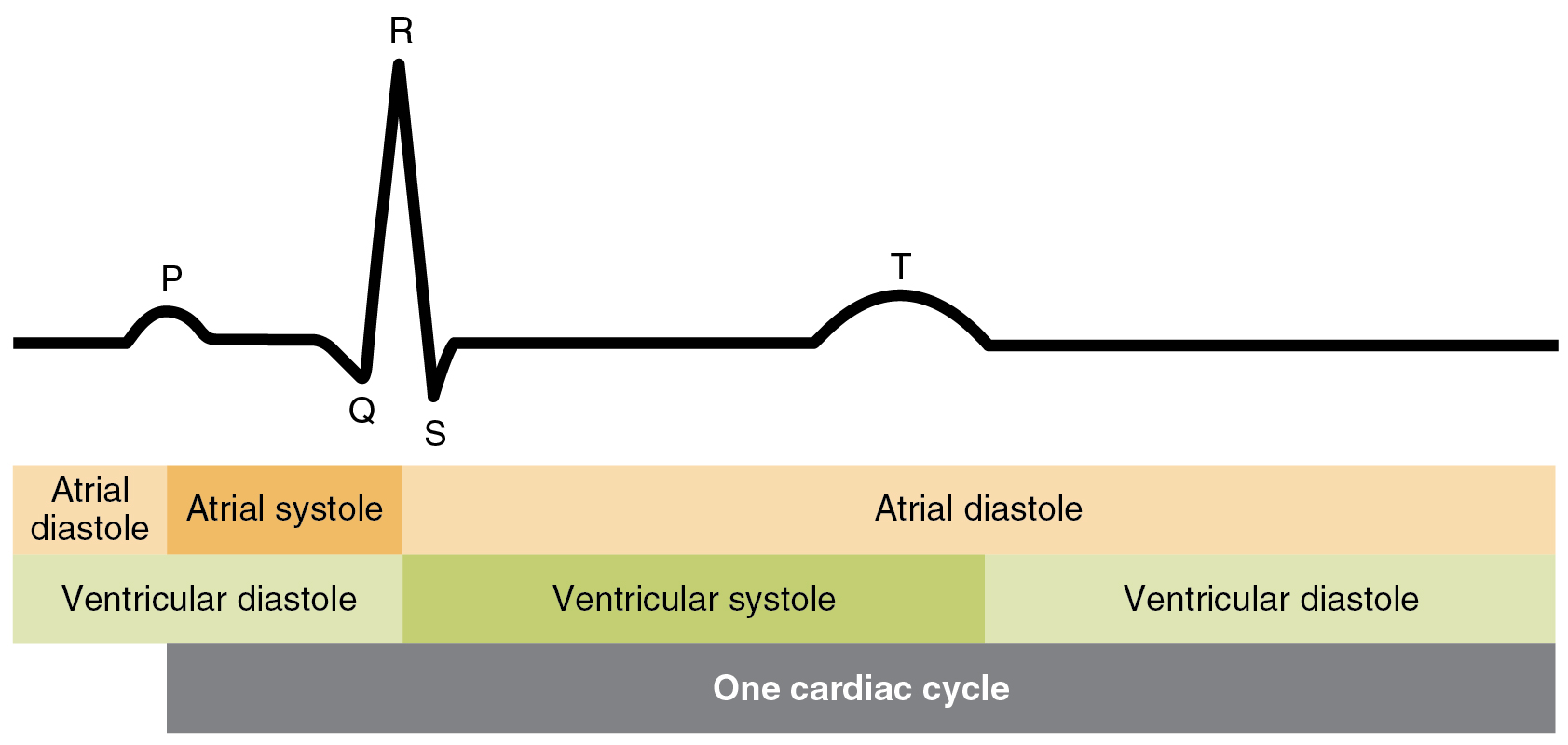 Ricerche Correlate A Ecg Simulator Circuit Diagram 193 Cardiac Cycle Anatomy And Physiology This Image Shows The Correlation Between Different Stages In Electrocardiogram