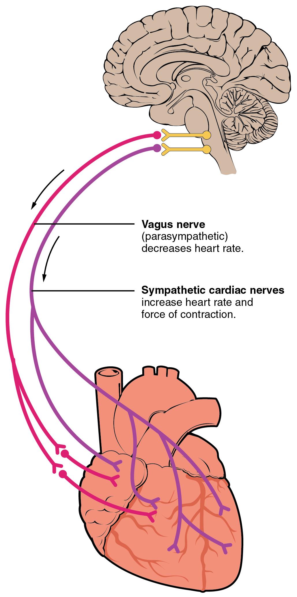 19 4 Cardiac Physiology – Anatomy and Physiology
