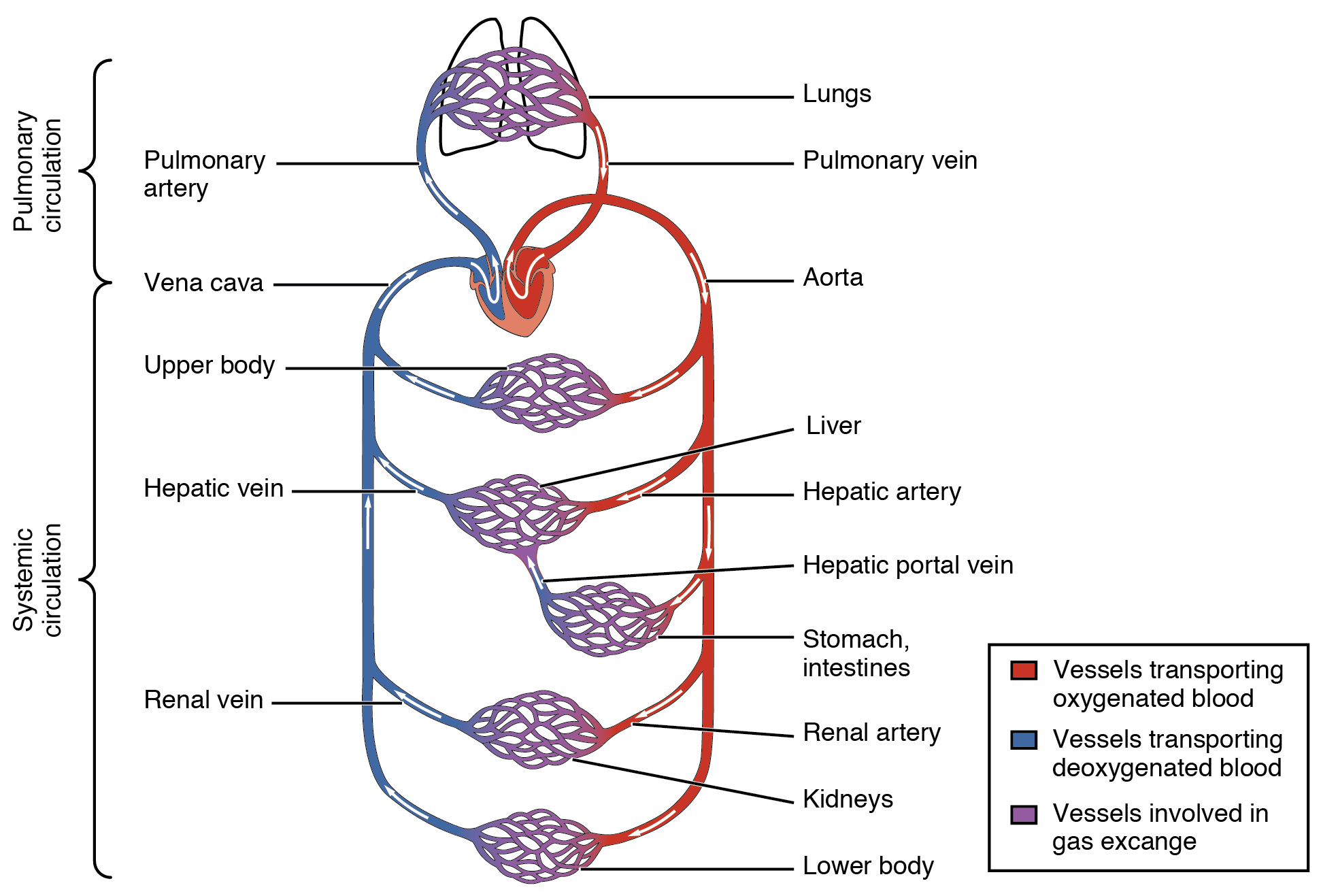 201 structure and function of blood vessels anatomy and physiology this diagram shows how oxygenated and deoxygenated blood flow through the major organs in the body ccuart Choice Image