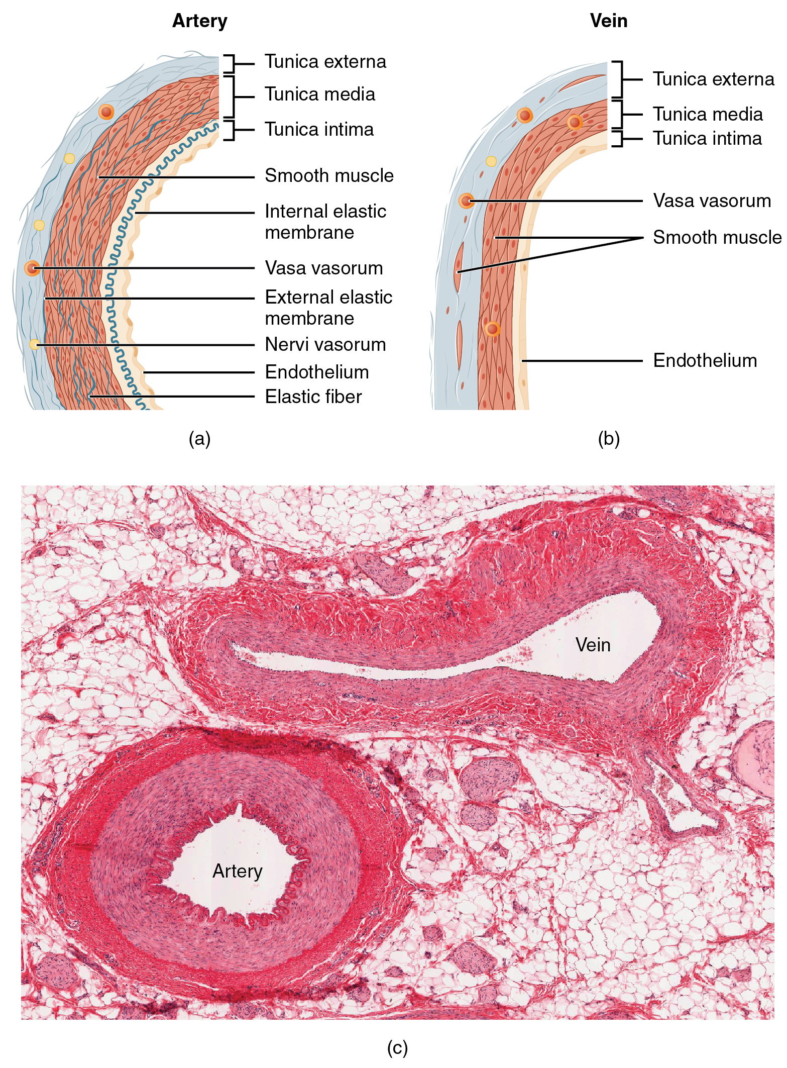 20 1 Structure and Function of Blood Vessels – Anatomy and