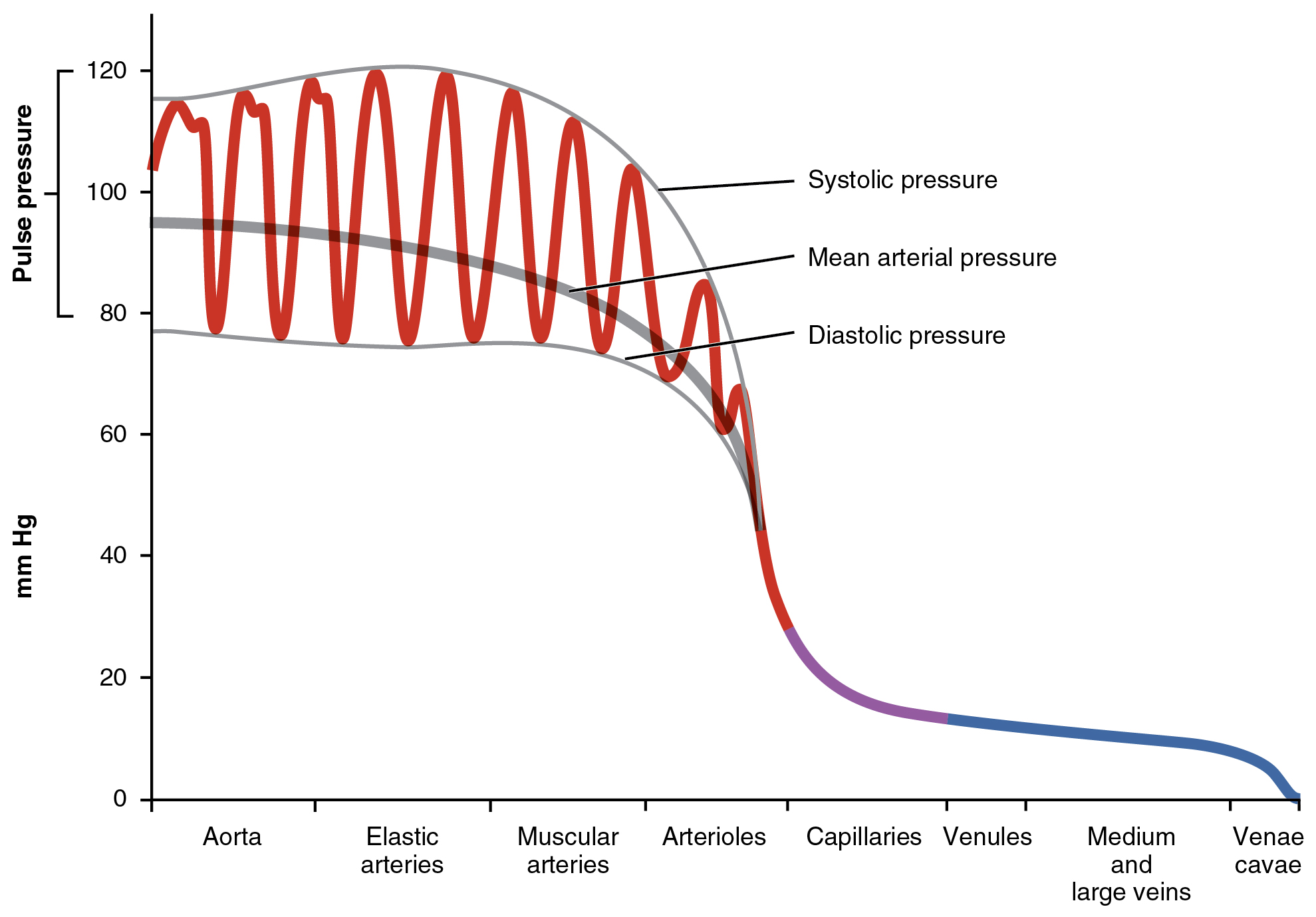 202 Blood Flow Pressure And Resistance Anatomy Physiology Drawing Force Diagrams This Graph Shows The Value Of Pulse In Different Types Vessels