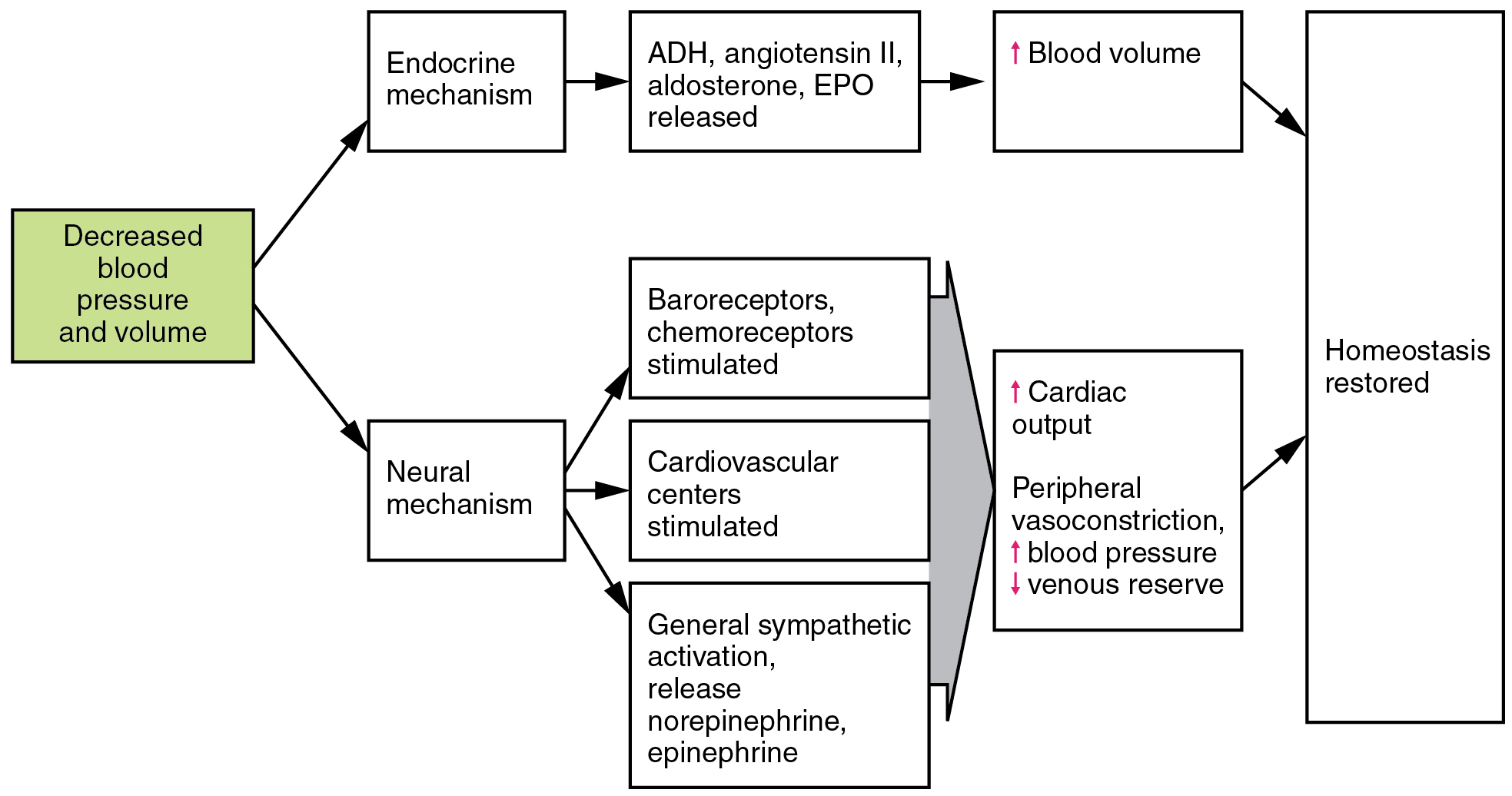 204 homeostatic regulation of the vascular system anatomy and this flowchart shows the action of decreased blood pressure and volume in the neural and endocrine nvjuhfo Choice Image