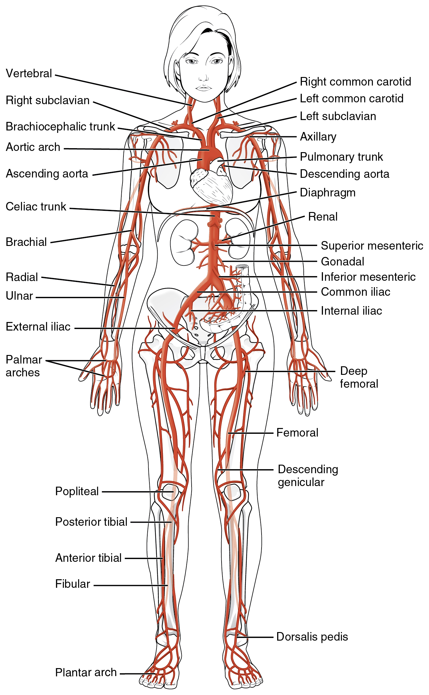 205 circulatory pathways anatomy and physiology this diagrams shows the major arteries in the human body pooptronica