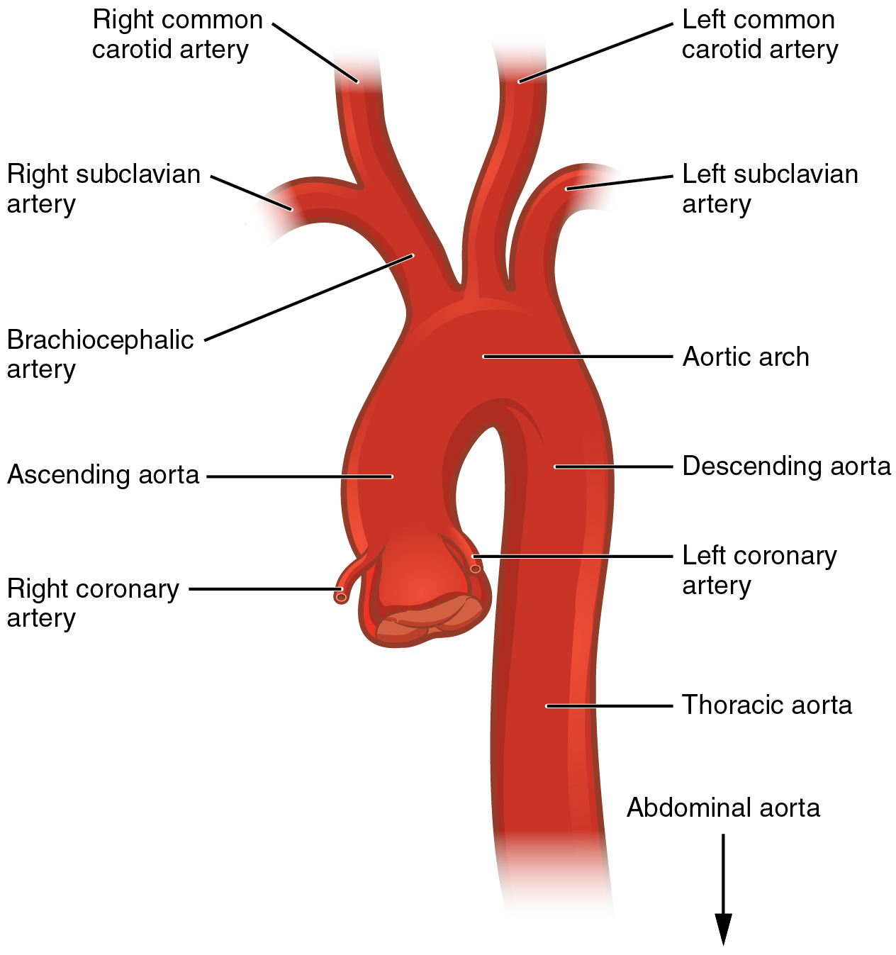 this diagram shows the aorta and the major parts are labeled