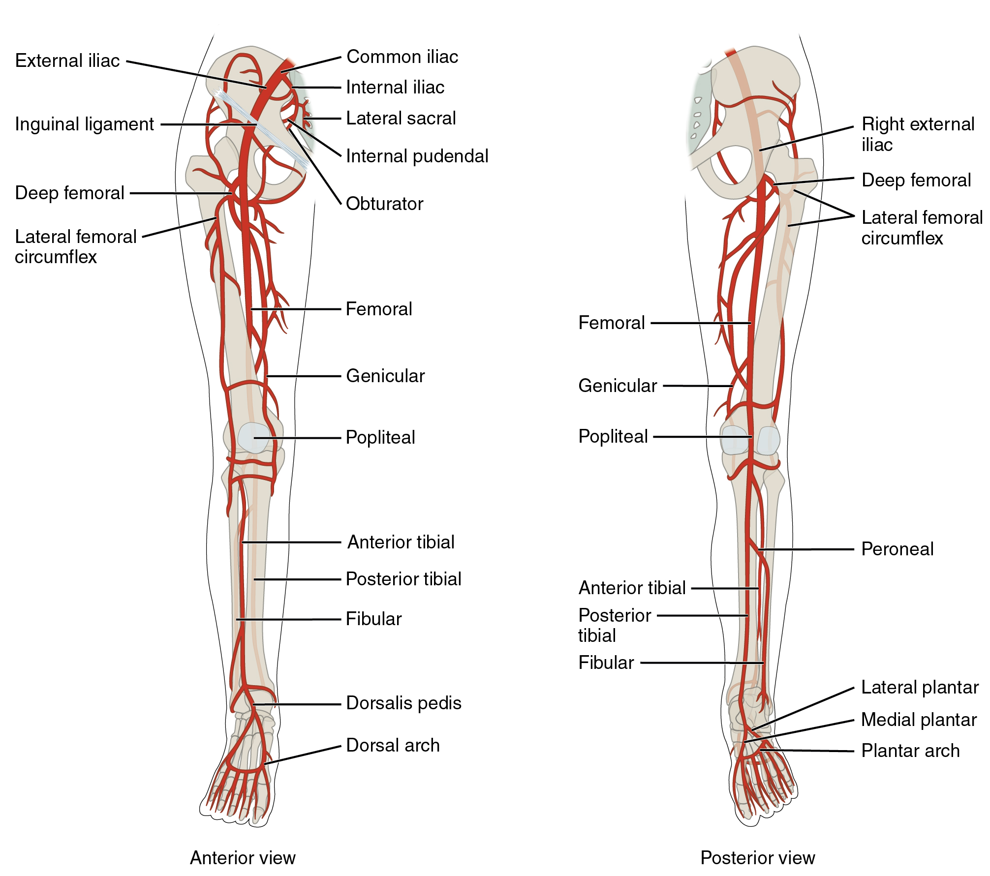 20.5 Circulatory Pathways – Anatomy and Physiology