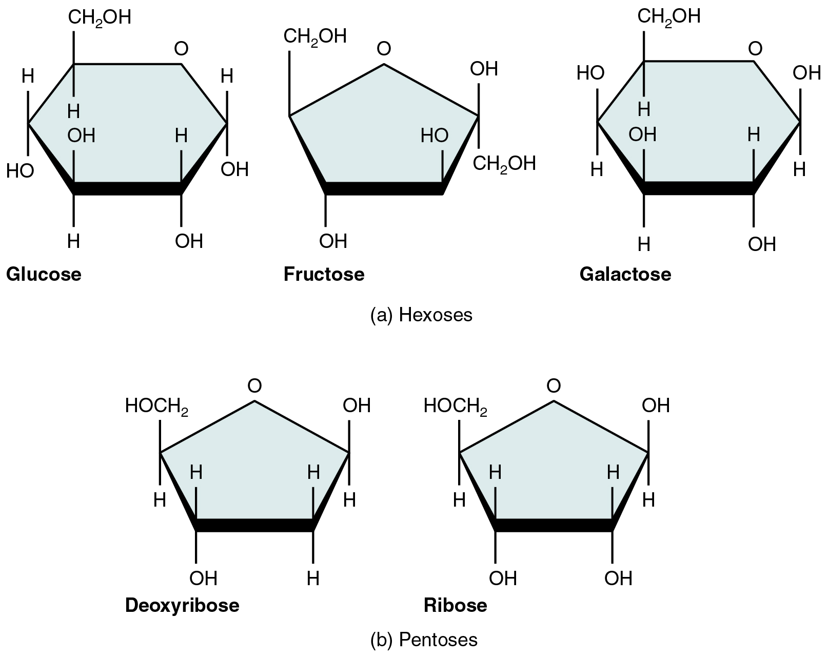 This figure shows the structure of glucose, fructose, galactose, deoxyribose, and ribose.