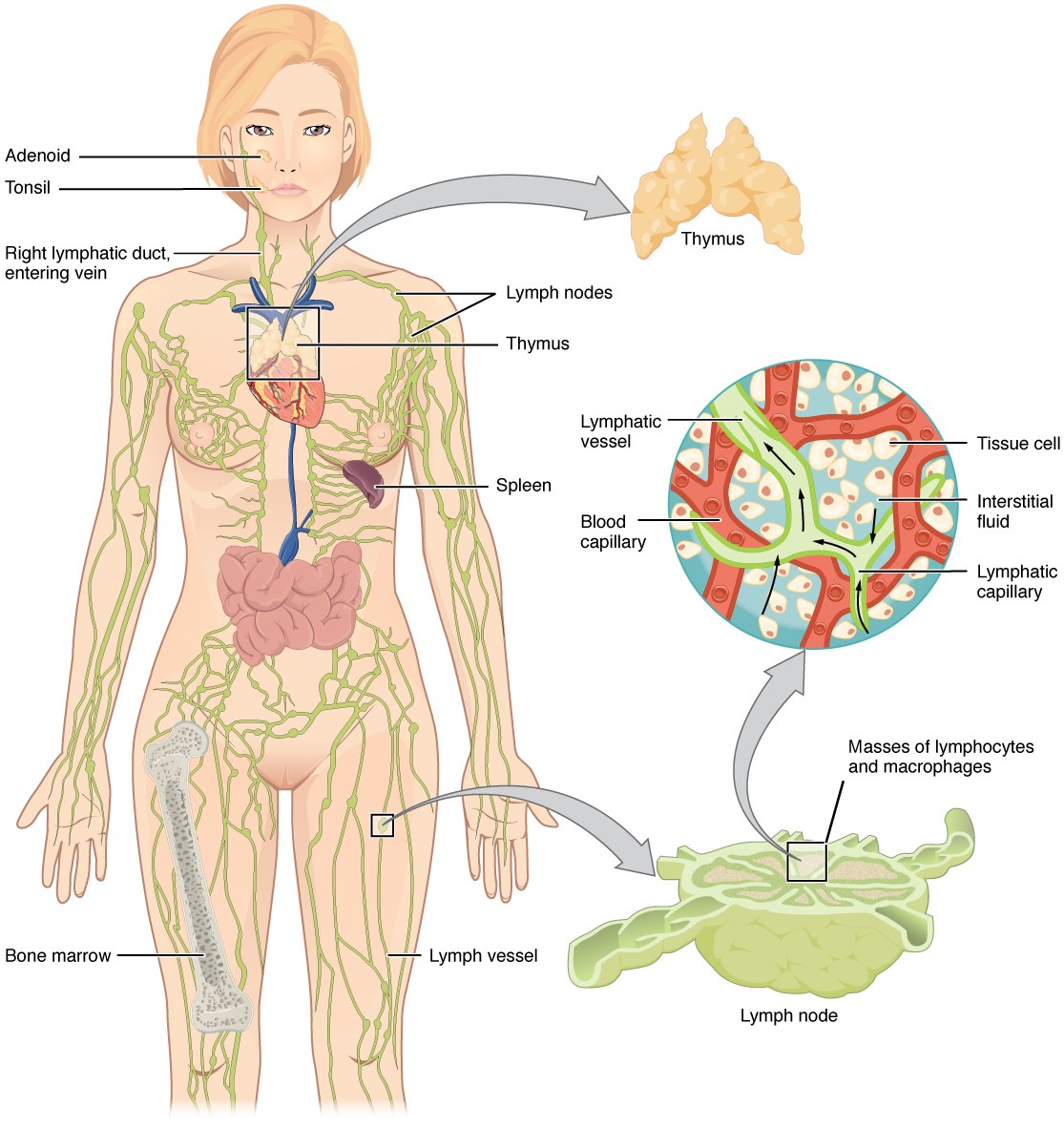 the left panel shows a female human body, and the entire lymphatic system  is shown