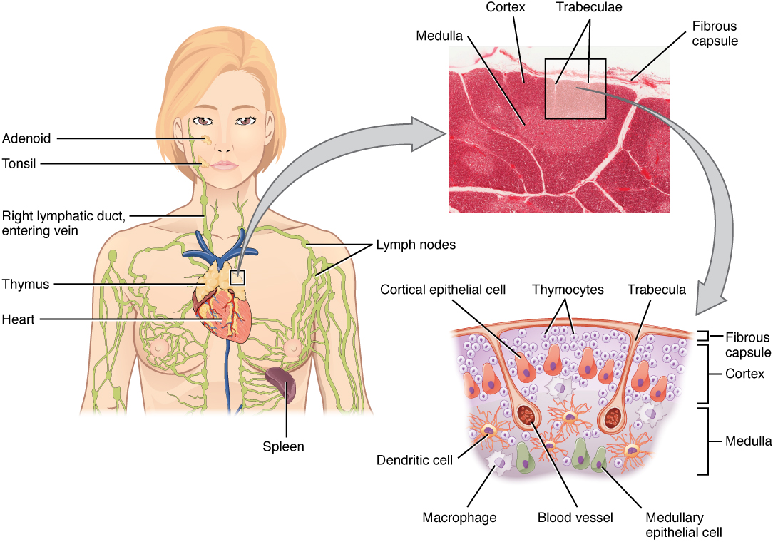 21 1 Anatomy Of The Lymphatic And Immune Systems on sternum location in human body