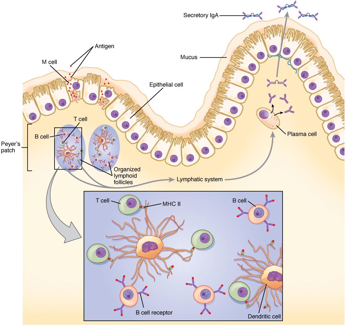 215 The Immune Response Against Pathogens Anatomy And Physiology