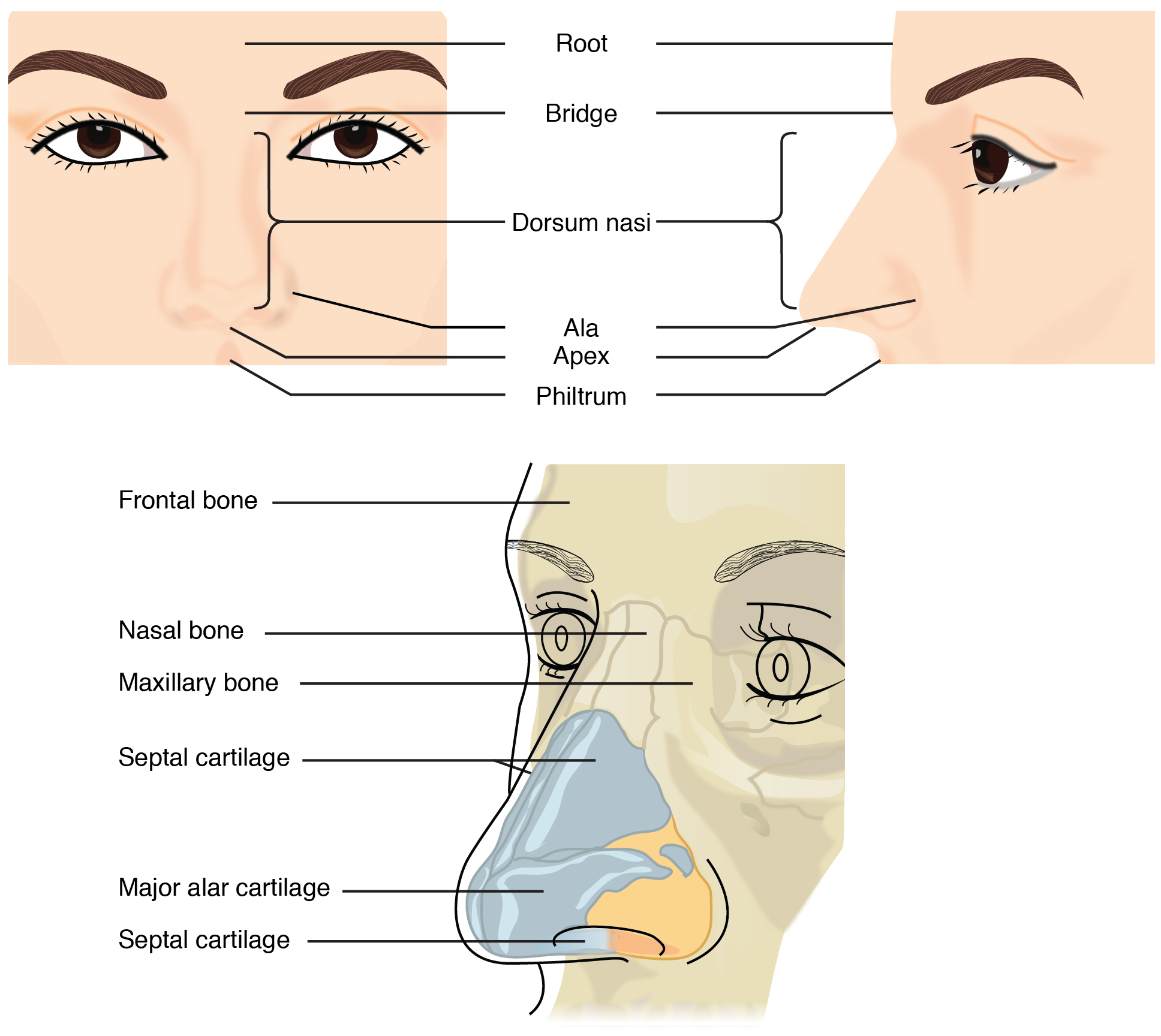 221 organs and structures of the respiratory system anatomy and this figure shows the human nose the top left panel shows the front view ccuart Images