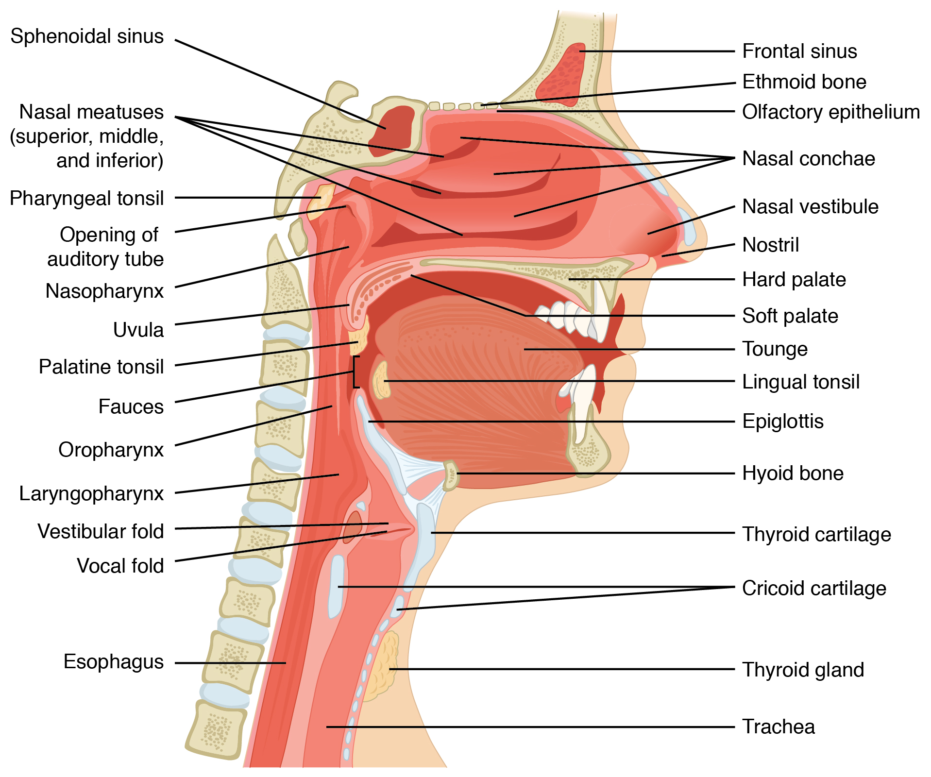 221 Organs And Structures Of The Respiratory System Anatomy Full Body Muscle Diagram Muscles Labeled This Figure Shows A Cross Section View Nose Throat Major Parts