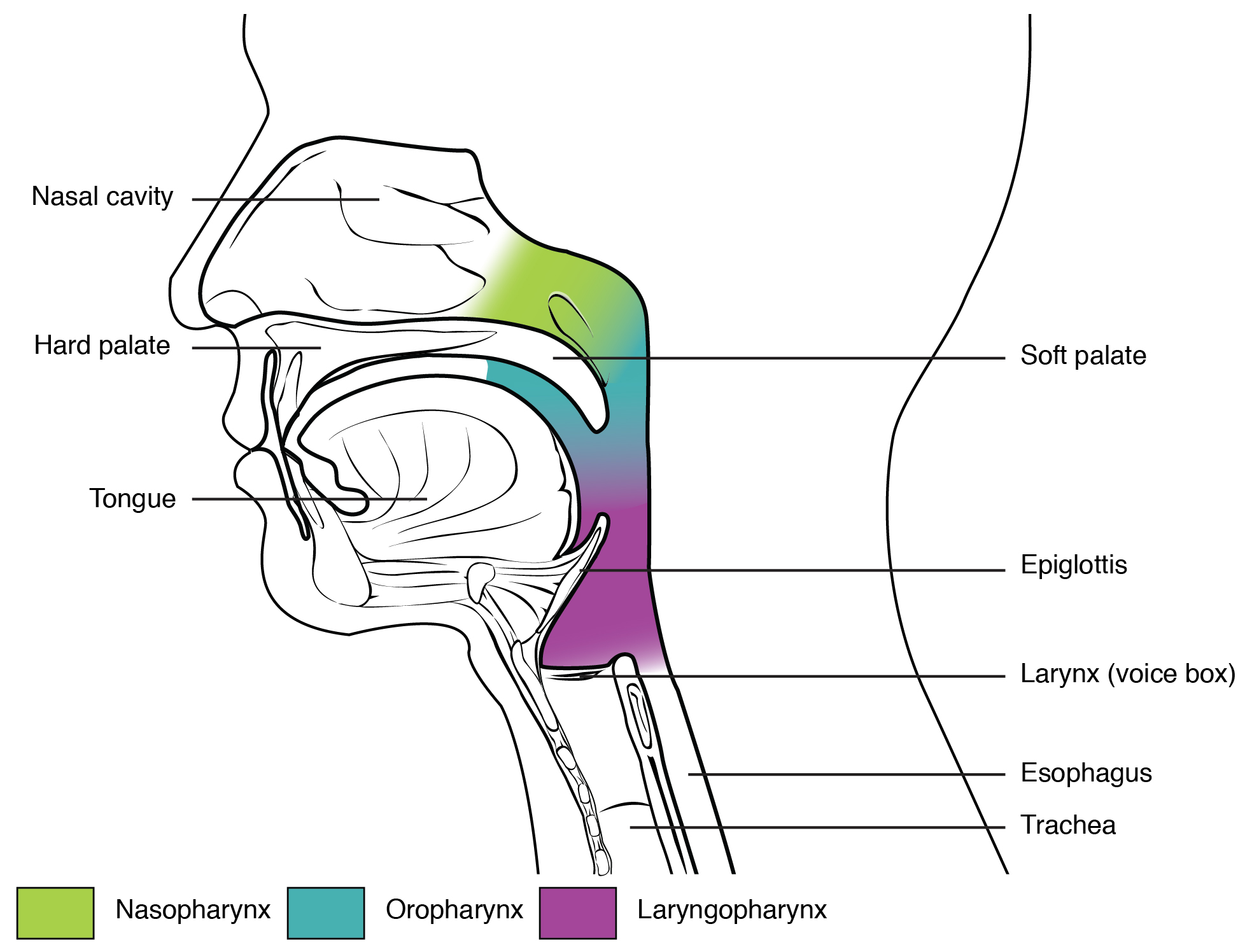 221 organs and structures of the respiratory system anatomy and this figure shows the side view of the face the different parts of the pharynx ccuart Choice Image