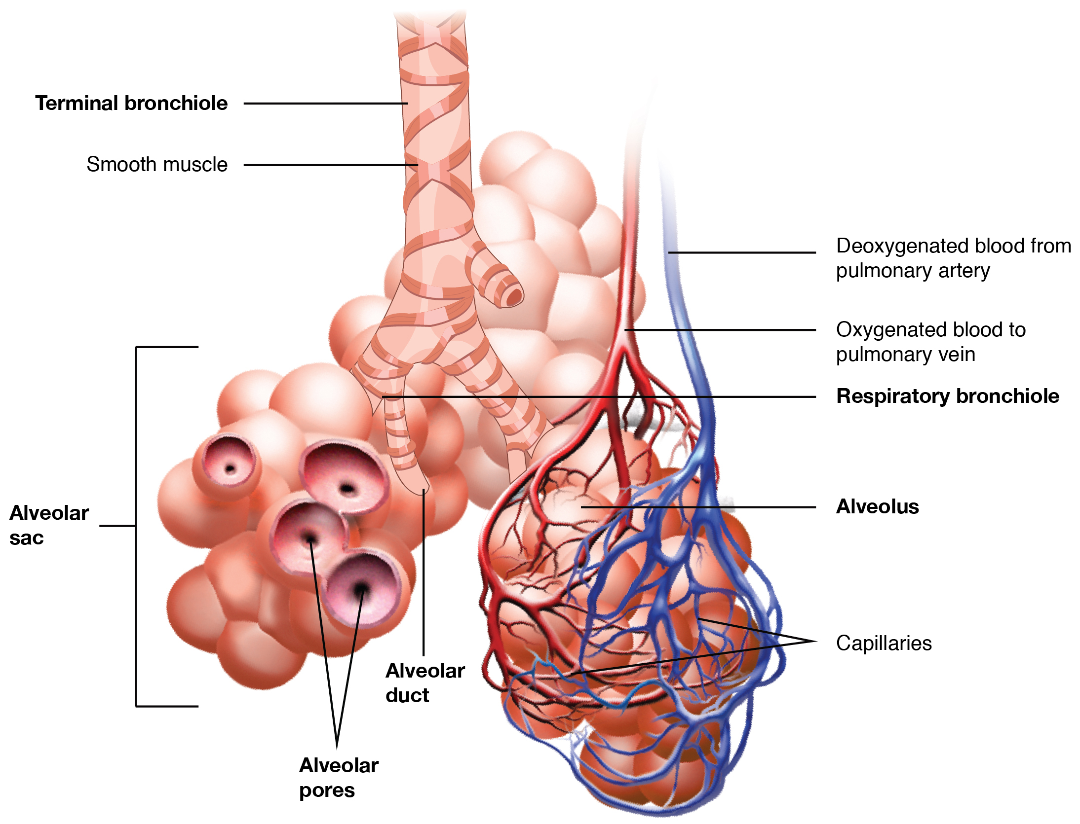 This image shows the bronchioles and alveolar sacs in the lungs and depicts the exchange of oxygenated and deoxygenated blood in the pulmonary blood vessels.