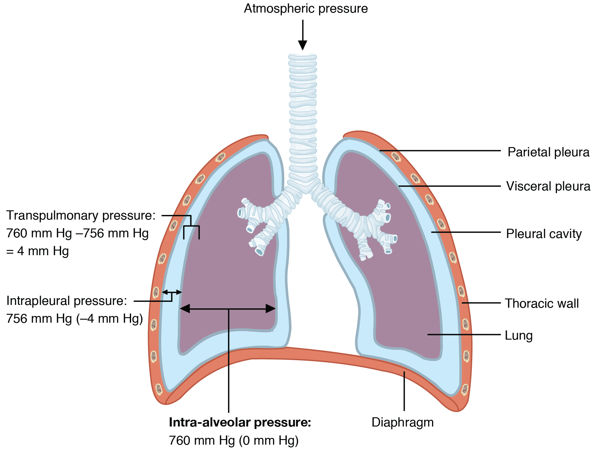 223 the process of breathing anatomy and physiology this diagram shows the lungs and the air pressure in different regions ccuart Choice Image