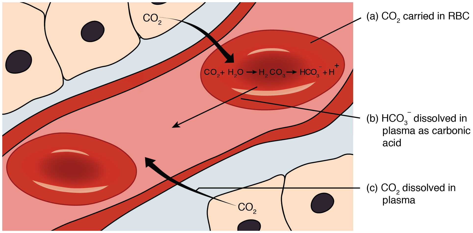 This figure shows how carbon dioxide is transported from the tissue to the red blood cell.