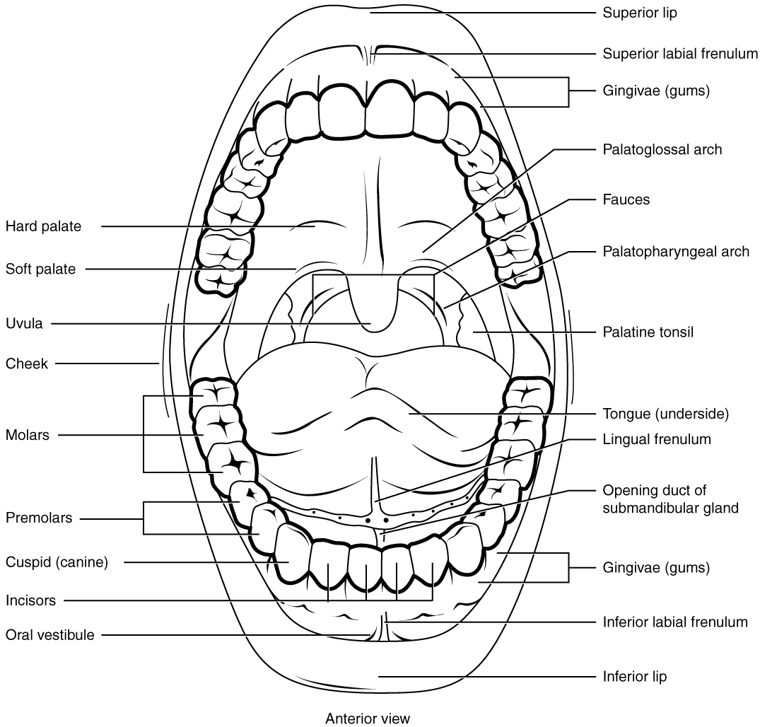 This diagram shows the structure of the mouth. The teeth, lips, tongue, gums and many other parts are labeled.